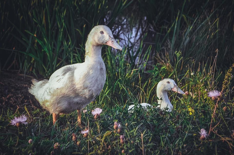 Nature, Bird, Grass, Living Nature, Goose, Duck, Beak