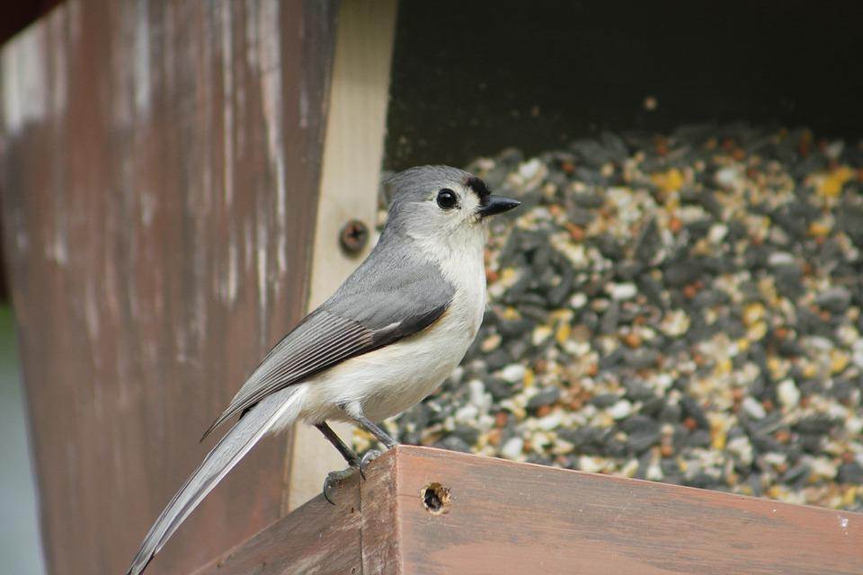 Bird, Nature, Outdoors, Wildlife, Animal, Titmouse