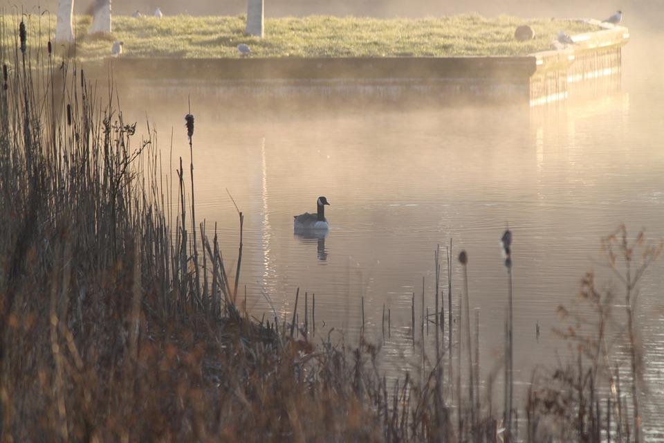 Mist, Bird, Water, Pond, Duck, Morning, Nature