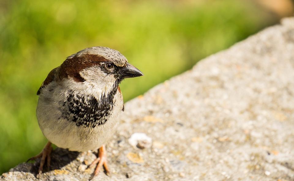 Sparrow, Bird, Animal, Nature