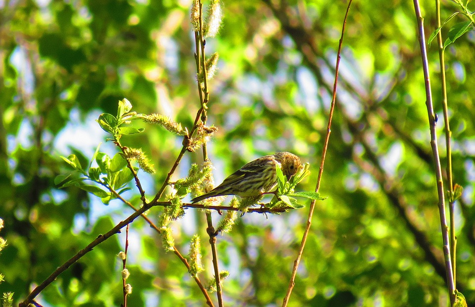 Red-winged Blackbird, Nature, Spring, Bird