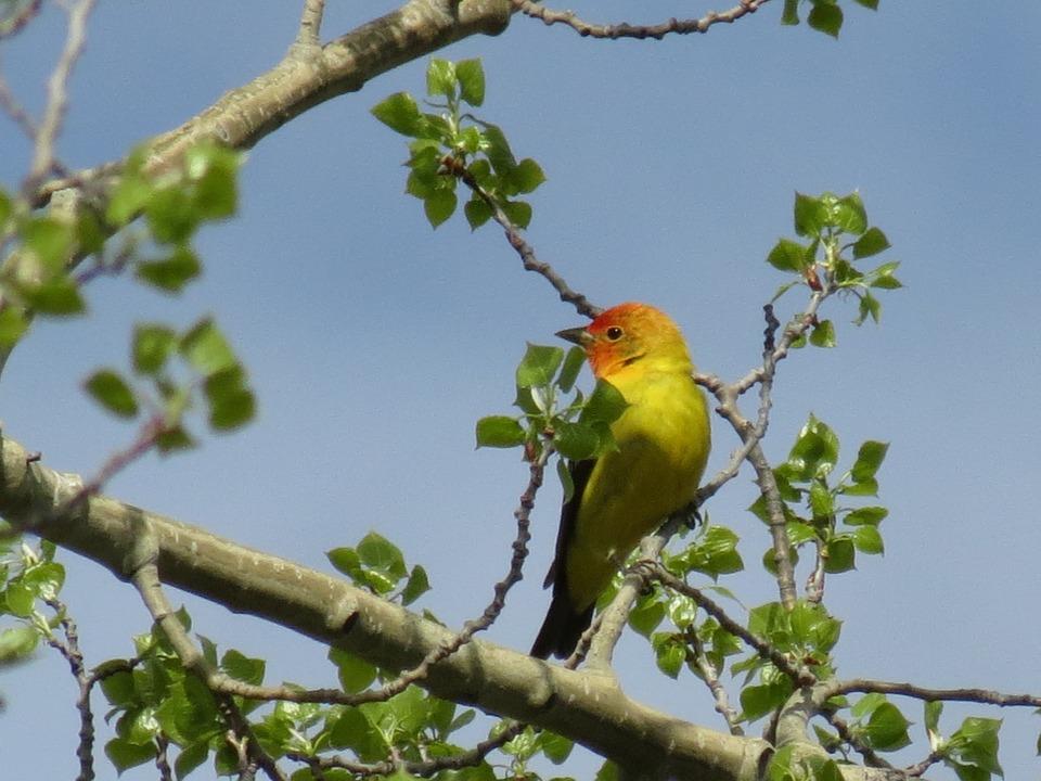 Tanager, Spring, Bird, British Columbia, Nature