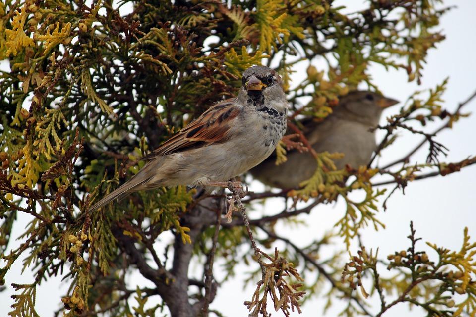 Bird, The Sparrow, Nature