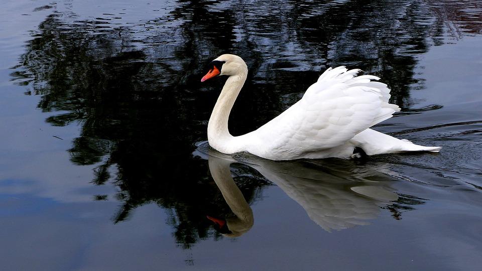 Swan, Bird, Water, Nature, Lake, White, Plumage, Swim