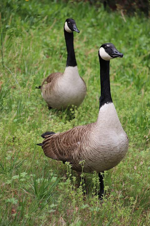 Goose, Bird, Wildlife, Nature, Animal, Spring