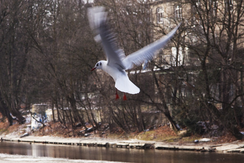 Seagull, Bird, Nature, River, Flight, Wing Beat