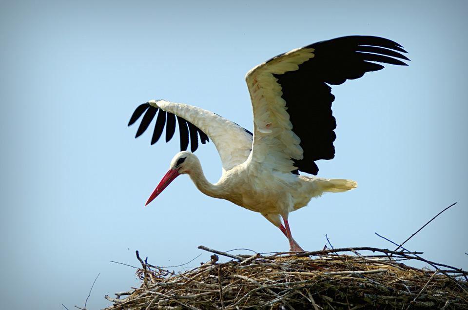 Stork, Ciconia Ciconia, Bird, Large, Fly, Nest, Nature