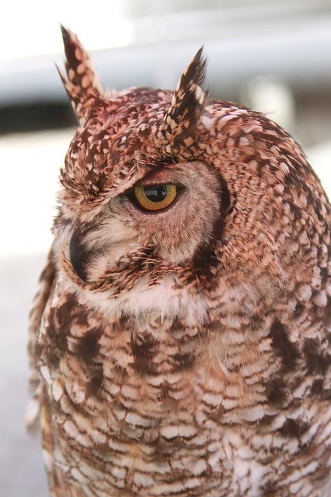 Owl, Horned, Bird, Bird Of Prey, Raptor, Nocturnal