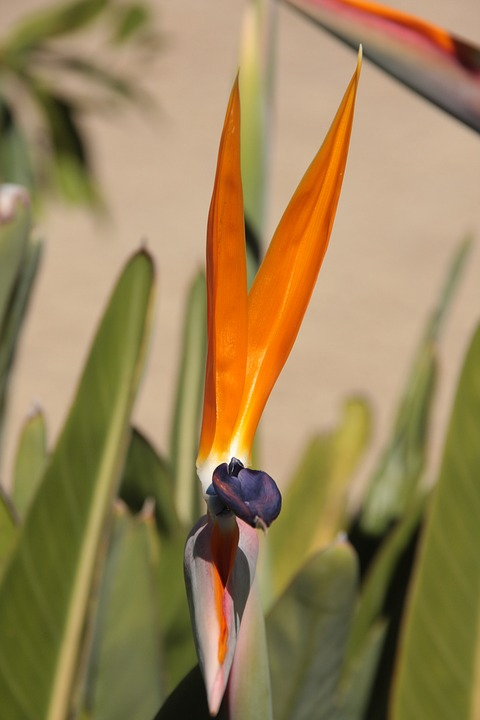 Caudata, Orange, Bird Of Paradise Flower, Strelicia