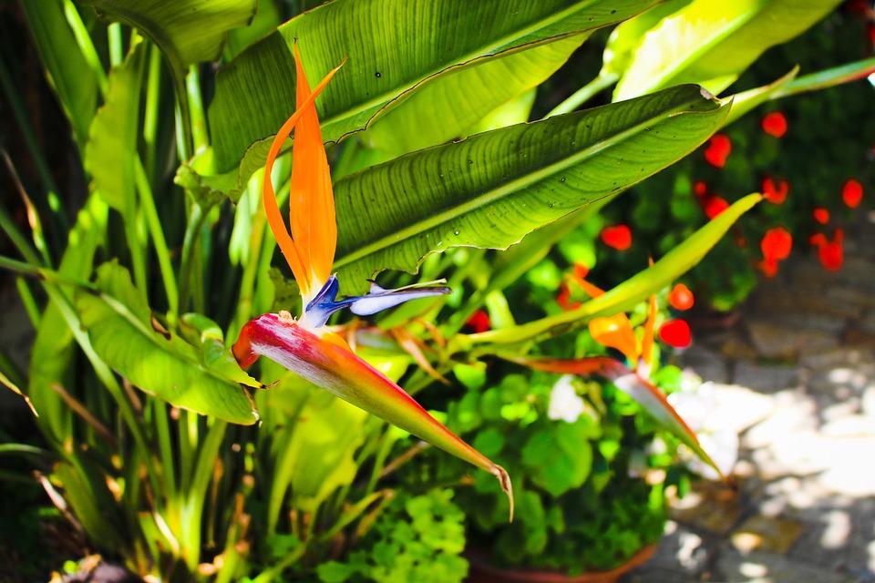 Bird Of Paradise Flower, Flower, Blossom, Bloom, Exotic