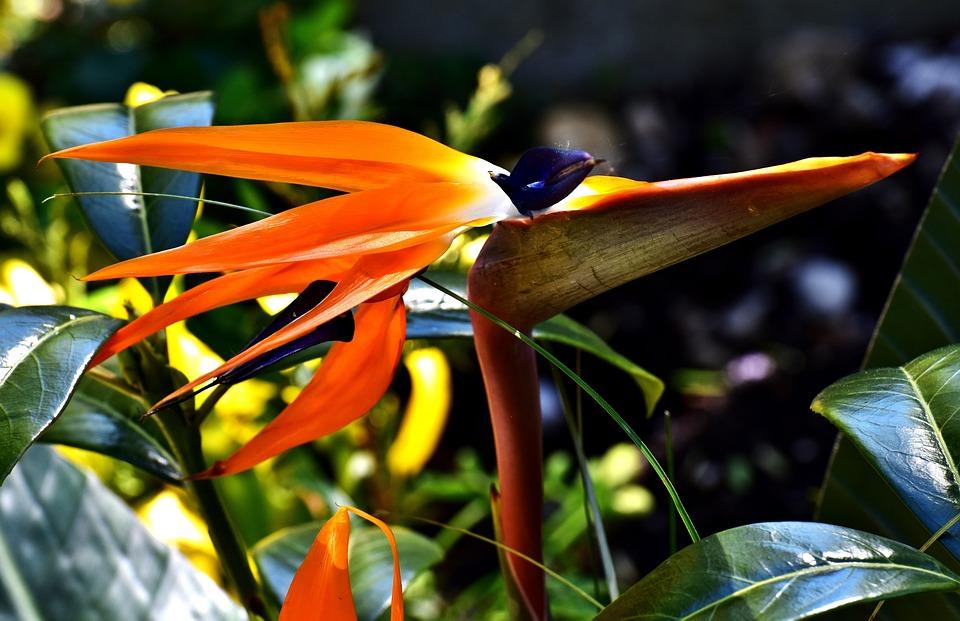 Caudata, Flower, Bird Of Paradise Flower