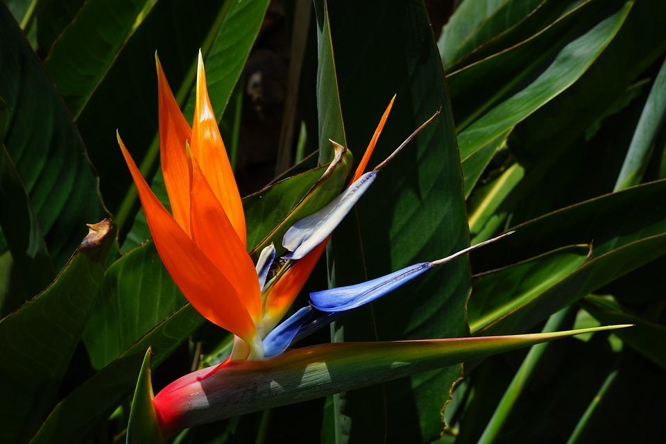 Bird Of Paradise Flower, Flower, Blossom, Bloom, Red