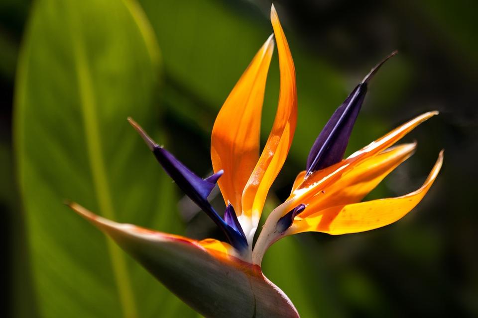 Flower, Bird Of Paradise Flower, Garden, Crane Flower