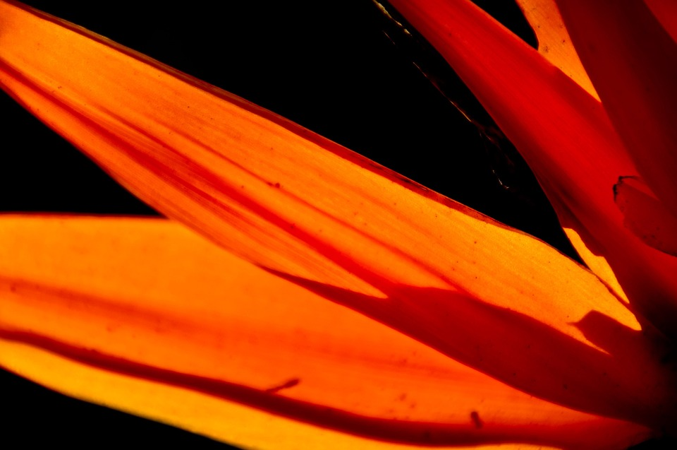 Bird Of Paradise Flower, Flower, Petals, Orange