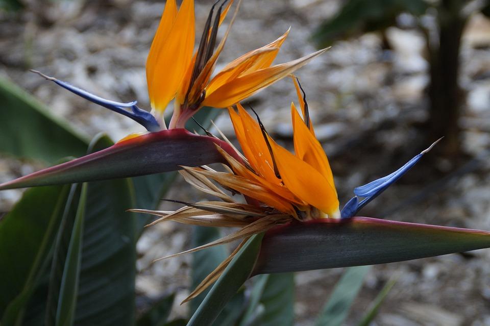 Strelizie, Exotic, Bird Of Paradise Flower