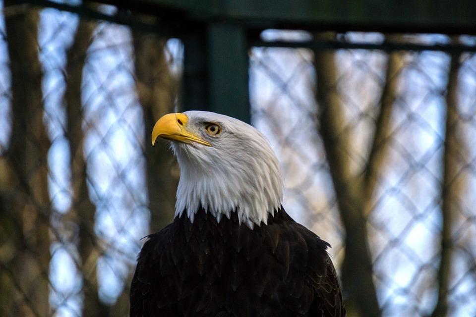 Bald Eagle, Adler, Bird Of Prey, Raptor