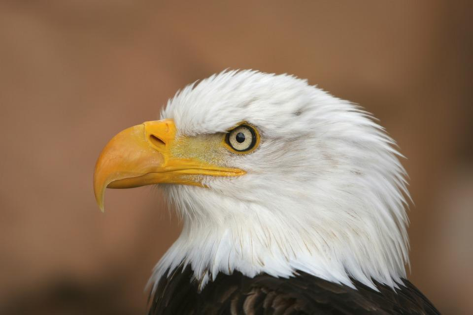 White Tailed Eagle, Adler, Raptor, Bird Of Prey