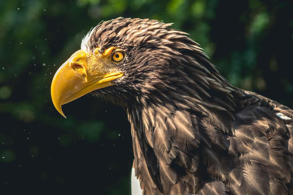 Eagle, Bird Of Prey, Animal, Species, Birds, Wild