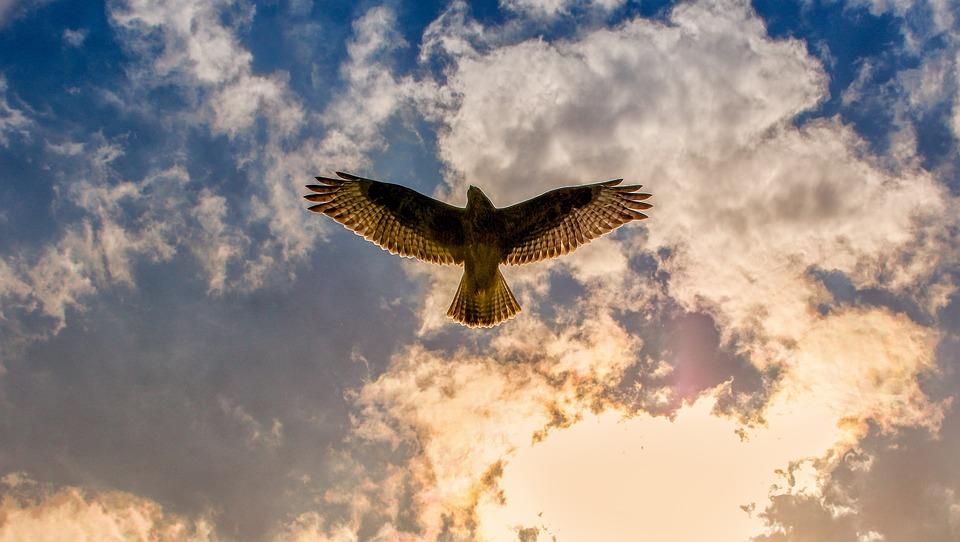 Buzzard, Bird Of Prey, Animal, Bird, Nature, Sky
