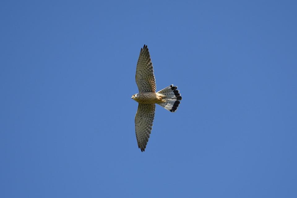 Bird, Falcon, Kestrel, Bird Of Prey, Animal