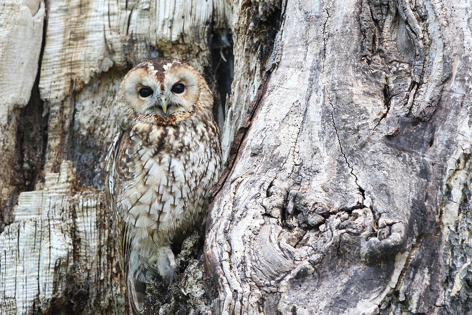 Owl, Camouflage, Wildlife, Bird Of Prey, Predator, Bird