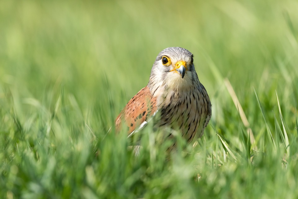 Bird, Kestrel, Grass, Nature, Bird Of Prey, Wings