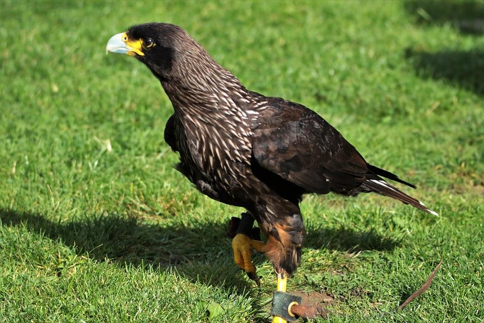 Caracara, Bird Of Prey, Bird, Animal, Wildlife, Crested