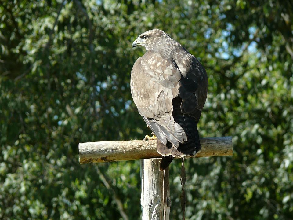 Eagle, Bird Of Prey, Birds Of Prey, Birds, Prey, Fauna