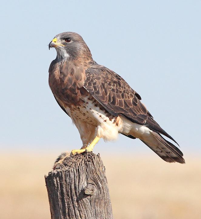 Avian, Hawk, Bird Of Prey, Feather, Flight, Bird