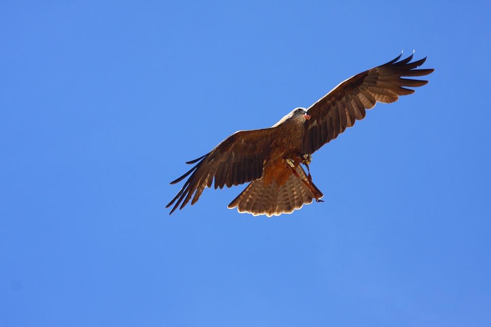 Raptor, Bird Of Prey, Fly