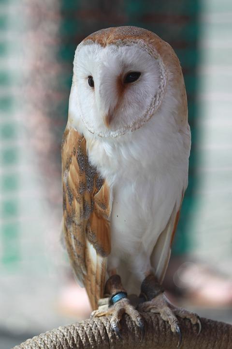 Barn Owl, Owl, Bird, Bird Of Prey, Hunter, Nocturnal