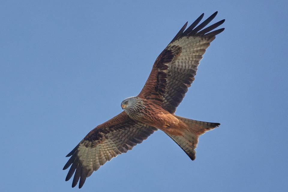 Milan, Bird, Nature, Animal World, Bird Of Prey, Wing