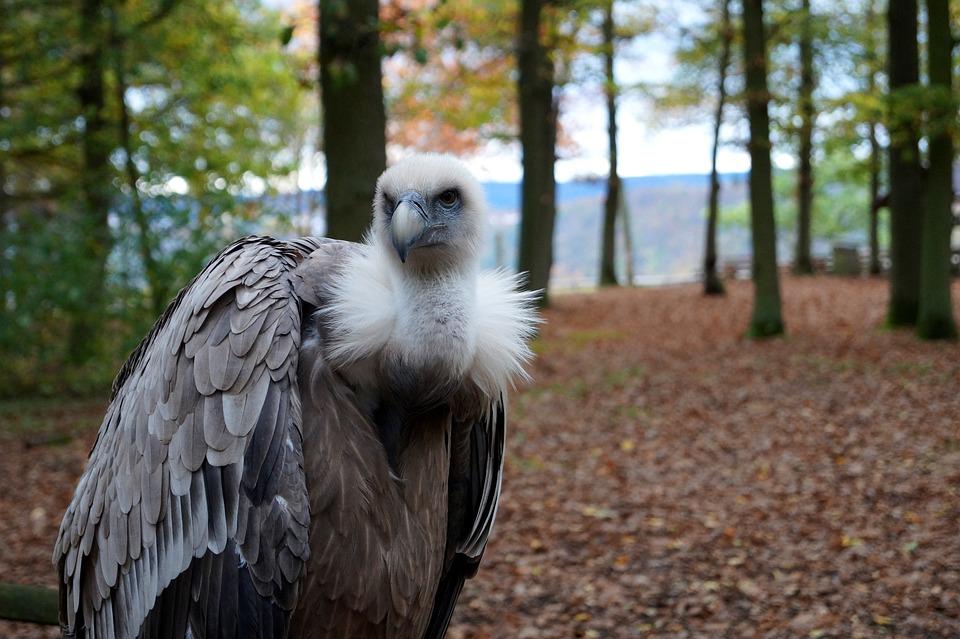 Vulture, Bird, Nature, Animal World, Bird Of Prey