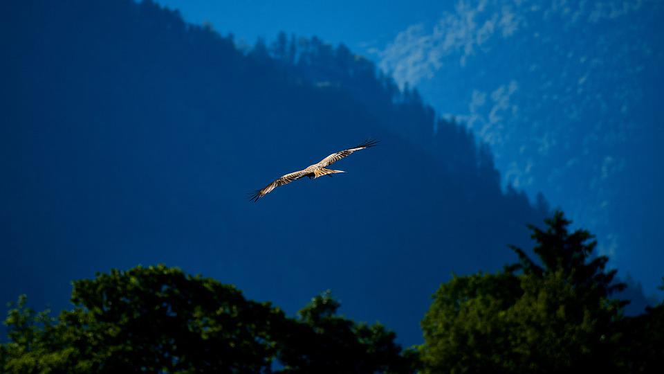 Bird, Milan, Bird Of Prey, Raptor, Nature, Animal World