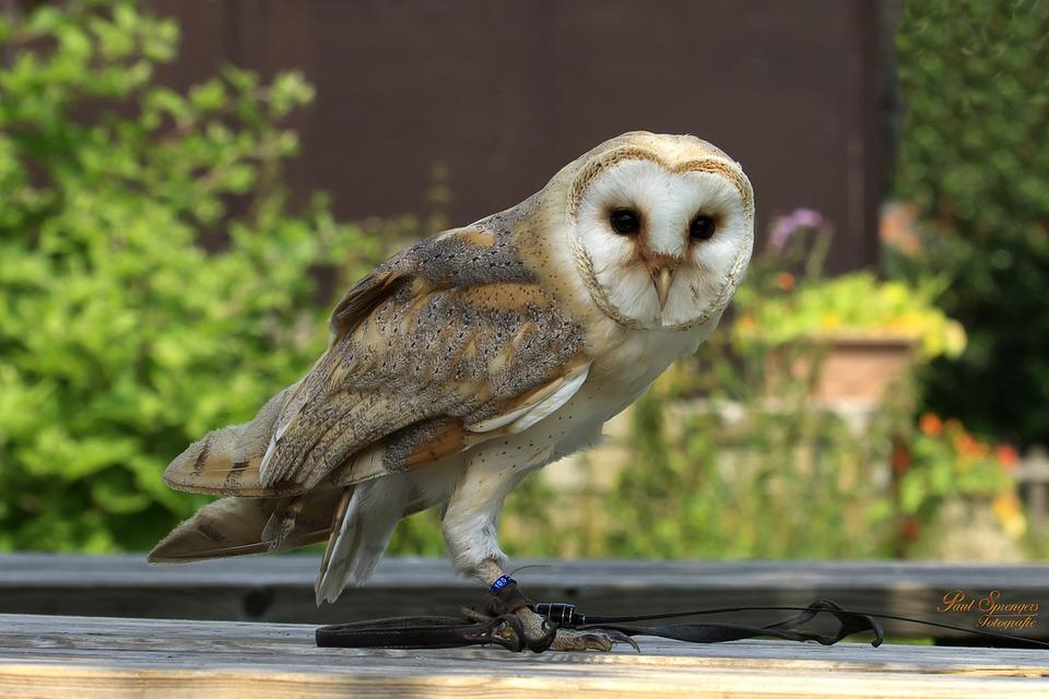Bird Of Prey, Birds, Nature, Owl, Church Owl