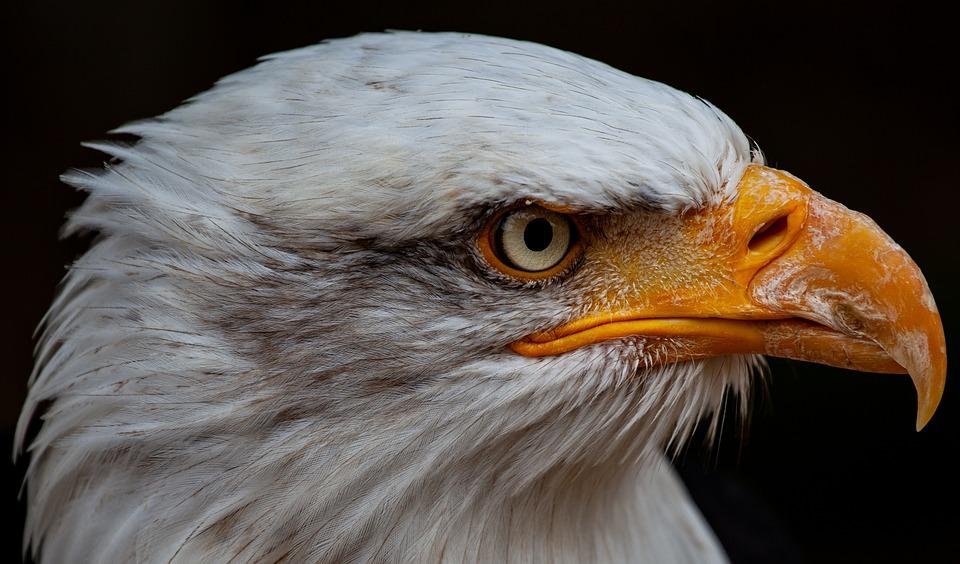 Bald Eagle, Raptor, Bird Of Prey, Yellow Eye, Hawk Eye