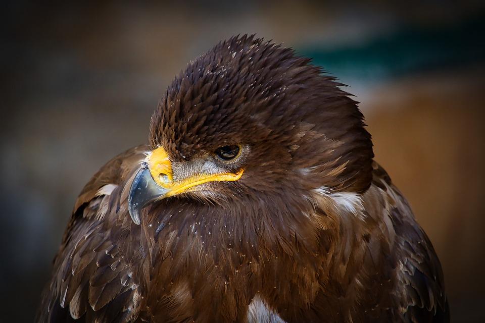 Golden Eagle, Bird, Animal, Eagle, Bird Of Prey, Raptor