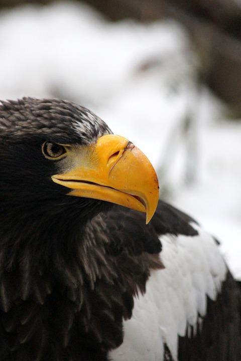 Orlan, Steller's Sea Eagle, Predator, Bird Of Prey