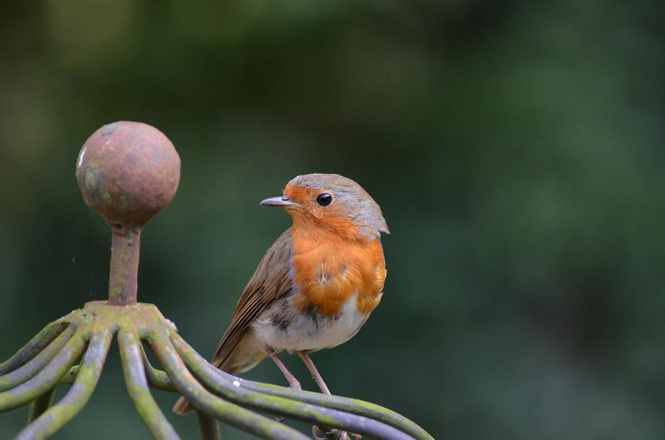 Robin, Bird, Erithacus Rubecula, Old World Flycatcher