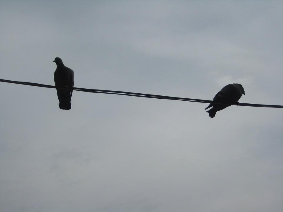 Birds, Bird On A Wire, Wing, Wildlife, Feather, Sparrow