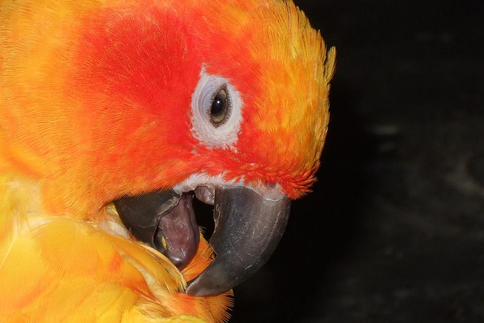 Parrot, Bird, Orange, Eyes, Animal, Wildlife