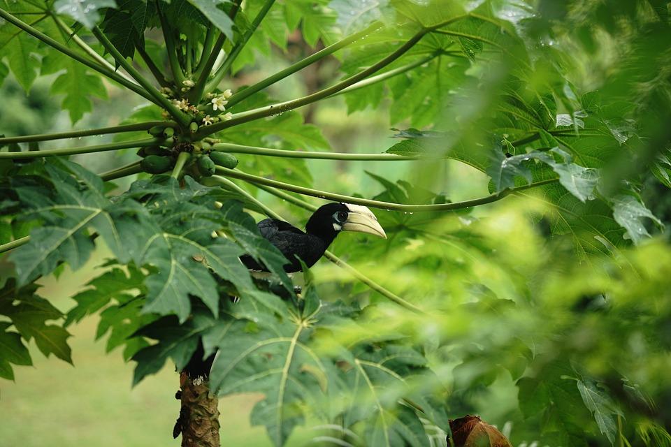 Orient Horn Bird, Hornbill, Bird, Singapore