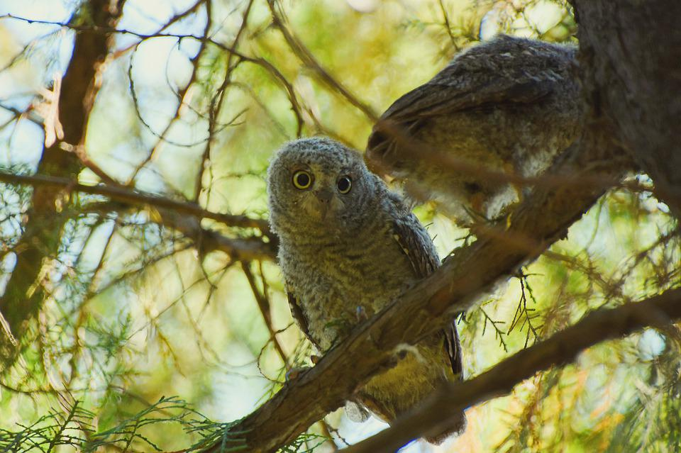 Owl, Oriental Scops Owl, Bird, Tree, Green, Natural