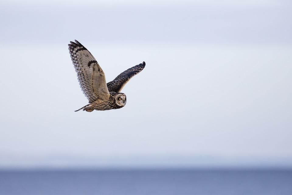 Owl, Short Eared Owl, Bird, Short-eared, Ornithology