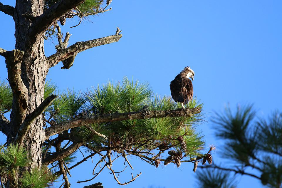 Osprey, Bird, Nature, Sky, Wings, Predator, Hunter