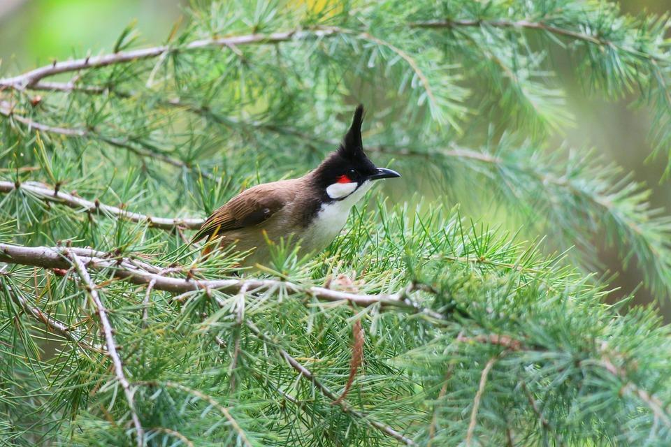红耳鹎, Tree, Nature, Outdoor, Wildlife, Bird, Beak