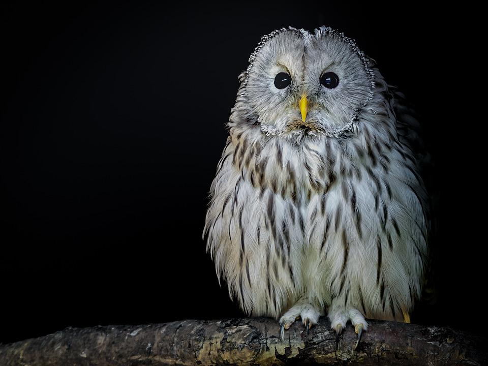 Bird, Owl, Ural Owl, Plumage, Eyes, Bill, Feather