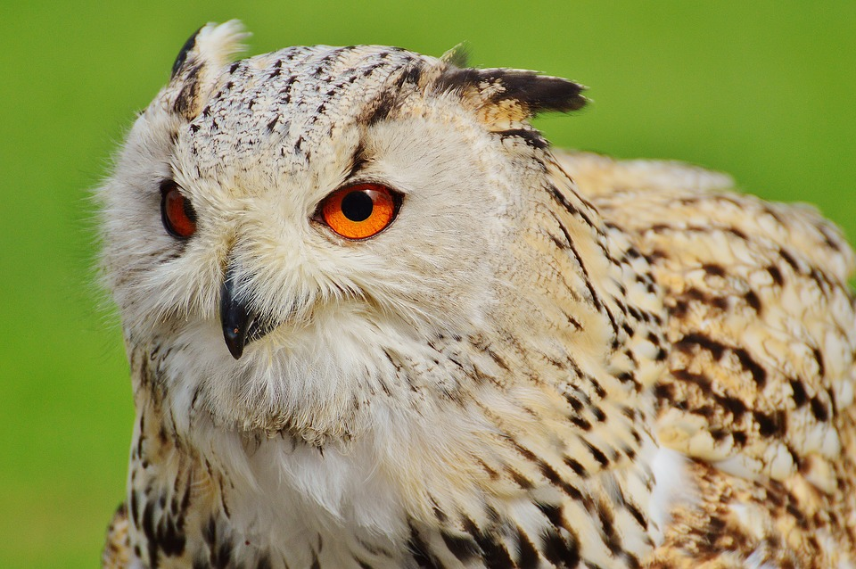 Owl, Wildpark Poing, Bird, Feather, Eagle Owl, Animals