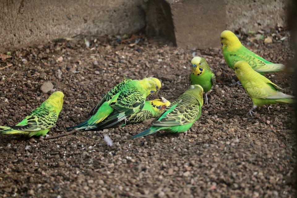 Nature, Animal World, Animal, Parrot, Bird, Budgie