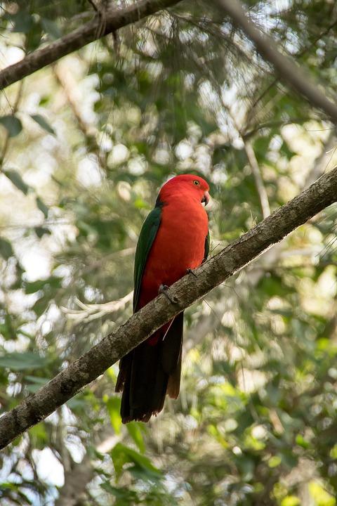 King Parrot, Australian King Parrot, Bird, Parrot